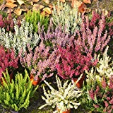 Anitra Perkins - Rarität Calluna samen 'Gardengirls®' Tricolor | immergrün Besenheide Blumensamen Mischung mehrjährig Winterhart im Kübel auf Balkon & Terrasse (50)