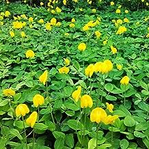50 Pcs Perennial Peanut Pinto Ground Cover Flower Arachis Pintoi Seeds #SSNH