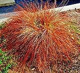 RubyShop724 100S-e-e-ds Red Sedge Gra'ss Firedance, Uncinia Rubra Evergreen S-e-e-ds