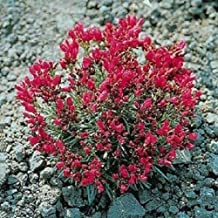 150 Rock Purslane 'Ruby Tuesday' Calandrinia Umbellata Flower Seeds #DS01
