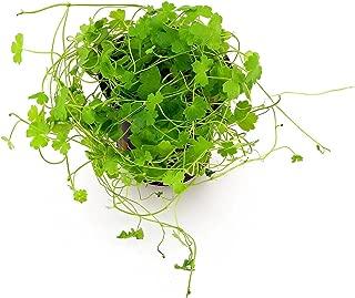 Best indian pennywort plant Reviews