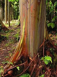 Sandys Nursery Online Rainbow Color Eucalyptus Tree, Rare Tropical Rainbow Gum, Starter Plant, Live Plant/Tree