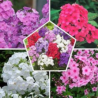 Phlox (paniculata) Colección perfecta (5 plantas)   5 variedades   Plantas duras de invierno de gran formato de Holanda   ...