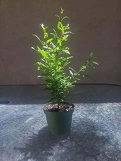 Dwarf Pomegrante Tree Container Patio Bonsai Size in 4 Inch AEND-019