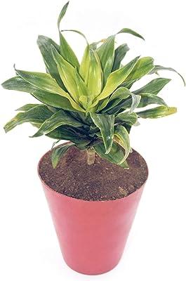 Plantmojo, Dracaena Compacta, in red Fiber Pot