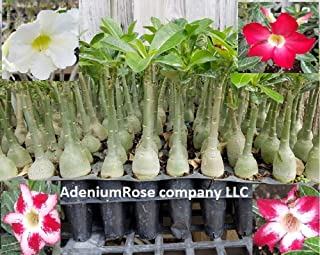 Adenium Plant Desert Rose Seedlings 5 Plants 5 Colors Live Plants Not Seeds