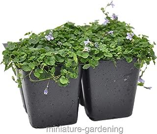 Raflesa Cymbalaria aequitrilobia, Mini Kenilworth Ivy, Ground Cover, Pack of 4
