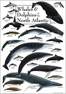 Poster - Whales & Dolphins of the North Atlantic
