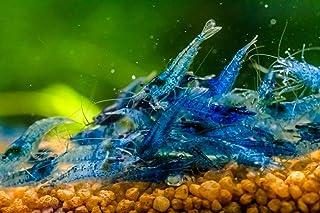 10 gamberetti blu diamante, per acquario vivo.