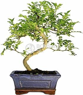 Bonsai - Falso pimiento, 6 Años (Bonsai Sei - Zanthoxylum)