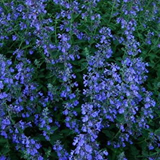 Best nepeta plants for sale Reviews