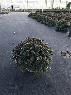 オーガニック種子:ムラサキツユクサ属のmicrofolia、 - Farmerlyによって3 Glon