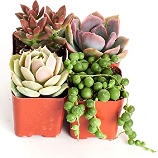 Shop Succulents | Good Juju Collection of Live Succulent Plants with Free Gift Crystal, Hand Selected Variety Pack of Mini Succulents | Collection of 4
