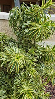 Artistic Solutions Dracaena reflexa Variegata ~Song of India~ Live Tropical House Plant 18-24