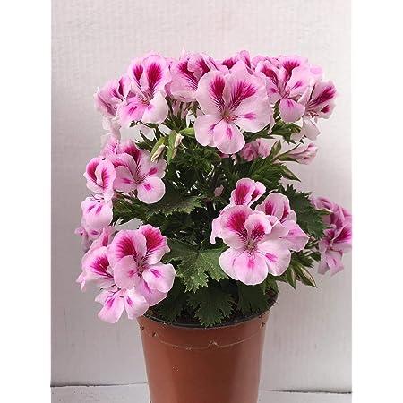 Geranio Pelargonium Grandiflorum (Pack 6 Plantas) 14 cmø - Vipar Garden 8