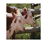 Cattle Adjusted Yearling Weight Calculator