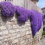 Más de 200 semillas púrpura del berro de roca en cascada de flores, bajo la planta de Sun