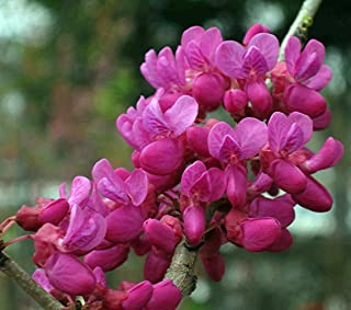 Don Egolf Chinese Redbud Tree - Cercis - Outdoors or Bonsai - 4