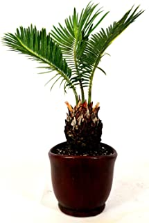 "Sago Palm - 4.5"" Ceramic Pot - unique from jmbamboo"