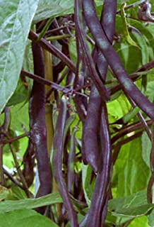 Climbing Beans Purple King - 20 Seeds - Organically Grown - NON-GMO