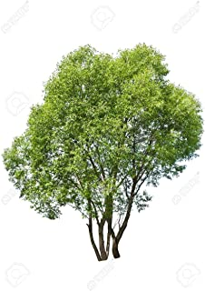 32 inch Tall Hybrid Willow Cuttings (3 Pack) - Fastest Growing Tree in The World - Privacy, Windbreak, Shade