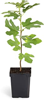 Brighter Blooms Chicago Hardy Fig Tree in a 2 Quart Pot | Succulent Figs | Withstand Freezing Temperatures | Health Benefits | No Shipping to AZ