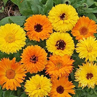 David's Garden Seeds Herb Calendula Pacific Beauty Mix SL2882 (Multi) 200 Non-GMO, Heirloom Seeds