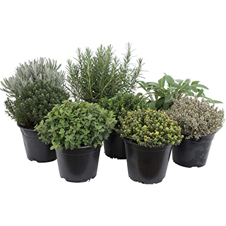 Paquete de hierbas italianas con 5 hierbas/orégano, albahaca, perejil, tomillo, mejorana / 250 semillas/Ideal para el alféizar de la ventana/su propio jardín de hierbas/macetas de hierbas
