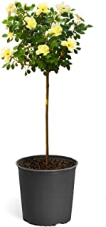 Best yellow rose tree Reviews