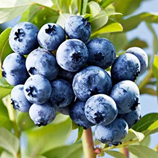 100pcs Blueberry Seeds Perennial Bonsai Mini Fruit Plant Seeds Blueberry Tree Seeds Potted Plant for Home Garden