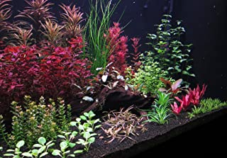 9 Species Live Aquarium Plants Package 37 Stems! rotala ludwigia+More Colorful!!