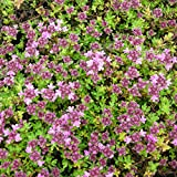 Thymus doerfleri 'Bressingham Seedling' - Bressingham-Thymian Polster-Thymian, im 0,5 Liter Topf, rosa blühend