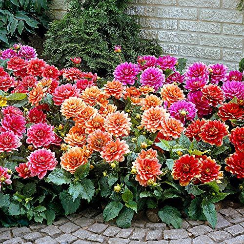 5x grandi letti di fiori Dahlia | Colori misti | Tuberi | Piante fiorite da giardino