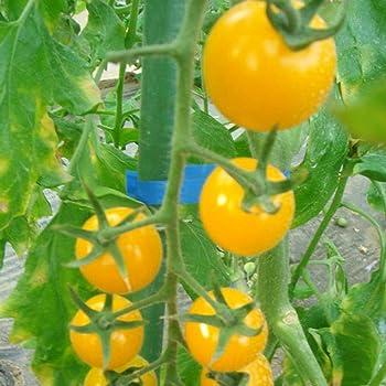 FastDirect Semillas de Tomate Negro 50 PCS Semillas de Verduras ...