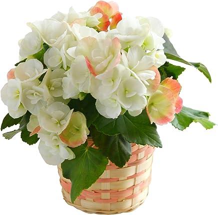 リーガース ベコニア フラワーギフト 鉢植え 4.5号鉢 (ホワイト)