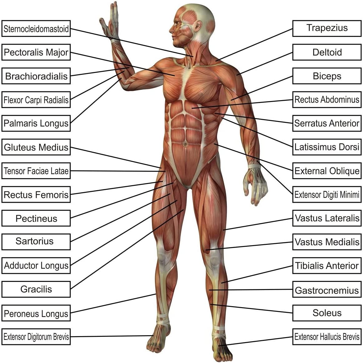 Amazon.com: LAMINATED 24x24 Poster: Anatomy Of Human Body Parts Body Parts  Names Human Anatomy Human Anatomy Diagram - Human Anatomy: Everything ElseAmazon.com