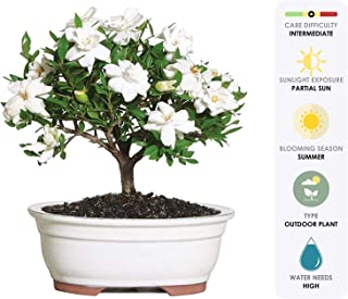 Brussel's Bonsai Live Gardenia Outdoor Bonsai Tree-4 Years Old 6