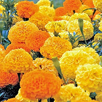 2000 African Marigold Seeds Crackerjack Mix, by Seeds2Go