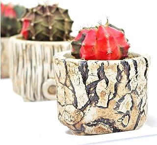 (株) 赤塚植物園 ① ペッタムシィー(Petchtamsee)農場のギムノカリキウム 陶器鉢仕様