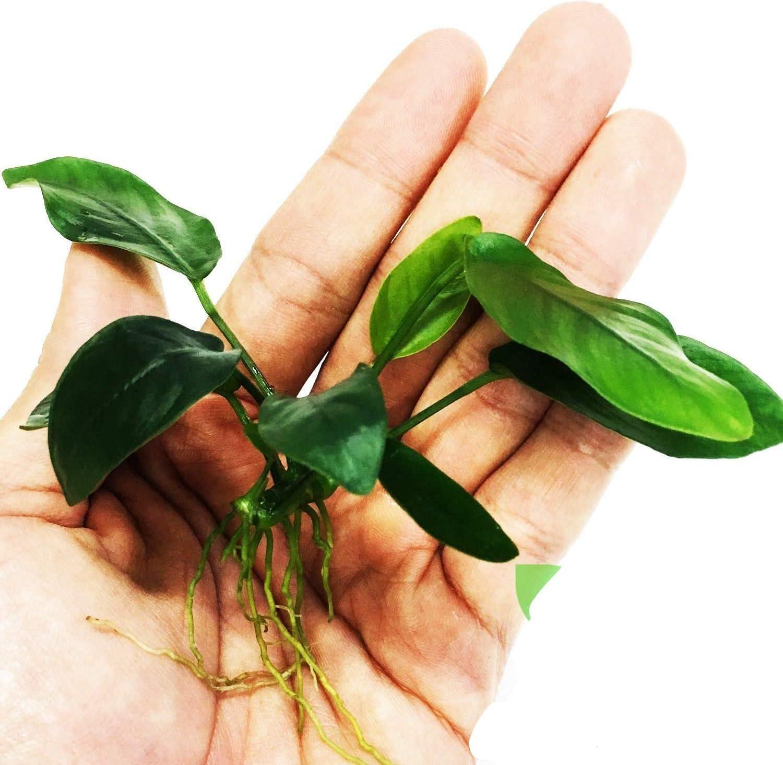 Planterest – Anubias Nana Loose Leaves Award Rooted Live Aquariu Large-scale sale Hardy