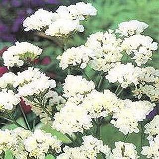 Statice- (Limonium Sinuatum) Iceberg White- 50 seeds