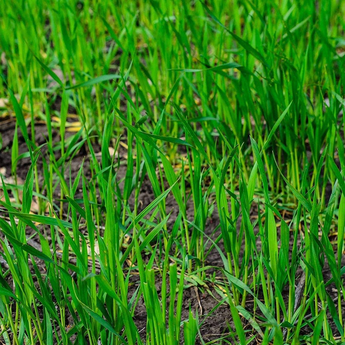 NEW before selling Safety and trust ☆ Rye Grass Seed - Fast Growing Food Crop Hardy Cover and