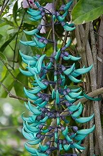 10 Blue Jade Vine Seeds 'Strongylodon Macrobotrys' Flower Endangered Perennial