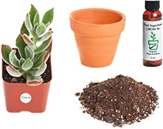 Shop Succulents | | Live Echeveria Harmsii 'Ruby Slippers' Succulent Plant Kit, Hand Selected, Ideal for Home Décor or Wedding Events