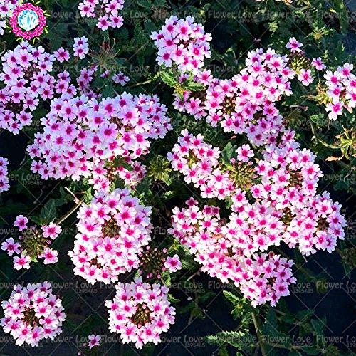 Graines de Purple rares 50pcs Verveine, Verveine HORTENSIS, Verveine Hybrida Rare Bonsai Graines de fleurs Plantes d'intérieur Balcon pour jardin 2