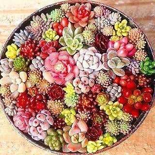 MURIEO jardín- 100 Unids Semillas Mixtas Suculentas Rare