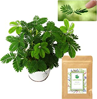 200 Sensitive Plant Seeds(Mimosa Pudica) for Indoor/Balcony Planting, Non-GMO Perennial Potted Flower Seeds