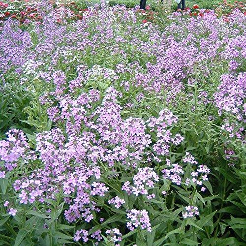 Aromatische Pflanzen Blau Weihrauch Senf Blumensamen für Hausgarten-Topfpflanzen Samen 20 Partikel / bag