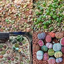 400pcs Mixed Succulent Seeds Lithops Living Stones Pl #us Plant Cactus New