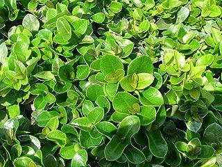 PlantVine Carissa macrocarpa 'Boxwood Beauty', Natal Plum, Carissa grandiflora - Large - 8-10 Inch Pot (3 Gallon), Live Plant